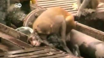 [VIDEO] Mono resucita a otro en India luego de caer electrocutado a una línea de tren