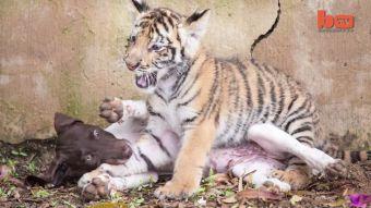 [VIDEO] El tigre y la perra que son mejores amigos en Sudáfrica