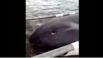 [VIDEO] Increíble hallazgo de extraño tiburón en Filipinas