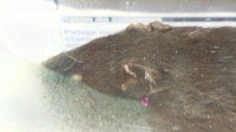Aumentan casos de Hantavirus en la región del Biobío