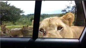 [VIDEO] León abre la puerta de auto de una familia en Sudáfrica