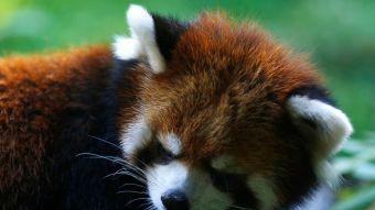 Presentan el primer panda rojo nacido en cautiverio en  Chile