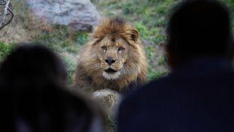 Hombre ingresa a jaula de leones en Zoológico Metropolitano resultando gravemente herido