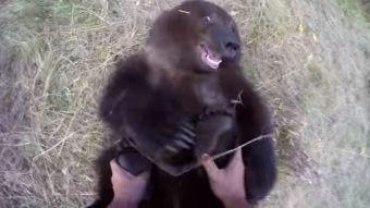 [VIDEO] Hombre se graba con una GoPro entrenando a una osa parda abandonada