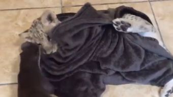 [VIDEO] El adorable video de un león cachorro jugando con una nutria