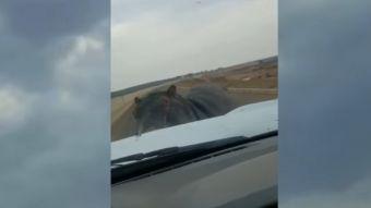 Hipopótamo ataca camioneta