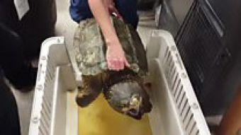 [VIDEO] El aparatoso escape de una enorme tortuga caimán atrapada en un desagüe