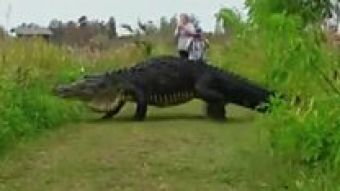 Un caimán gigante que parece un dinosaurio se pasea por Florida