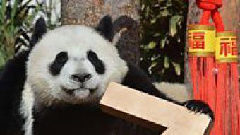Cachorros de panda gigante dan la bienvenida al año nuevo chino