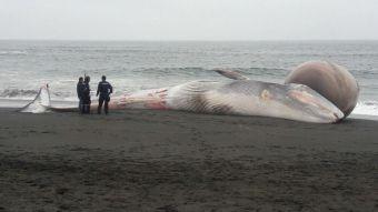 Ballena de 16 metros de largo vara muerta en región del Maule