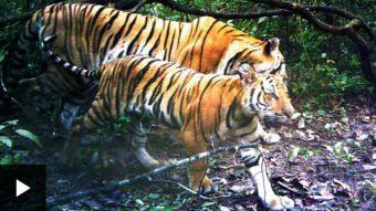 Los tigres de Indochina descubiertos por cámaras escondidas en Tailandia