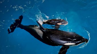 El nacimiento de la última orca en cautiverio en SeaWorld