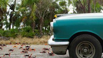 Miles de cangrejos invaden Bahía de Cochinos en Cuba