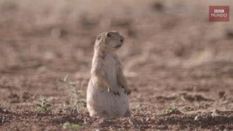 [VIDEO] El espectacular duelo entre un roedor y una serpiente en el desierto de México