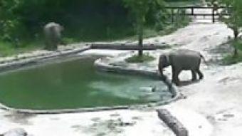[VIDEO] El rescate de un elefante bebé que pudo salir del agua gracias a su madre y a su tía