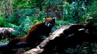 [VIDEO] Así fue el rescate del Panda Rojo que escapó del Zoológico Metropolitano