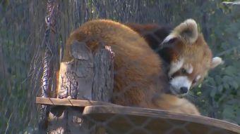 [VIDEO] Zoológico Nacional en entredicho tras fuga de panda rojo