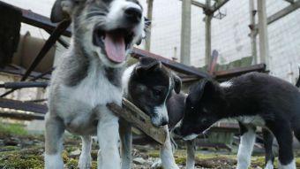Chernobil dogs