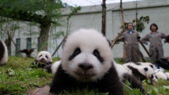 [FOTOS] China celebra su año del Panda