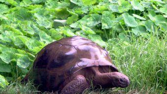 Descubren que la tortuga más vieja del mundo mantuvo por 26 años una relación homosexual