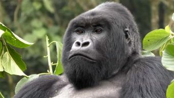 [VIDEO] Aumenta la población de gorilas de montaña desde 2010