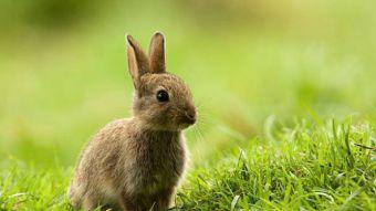 Atención amantes de los conejos: El primer Bunny Fest de Chile será gratuito
