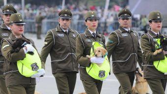 Así fue el primer día de trabajo de los perros de Carabineros que se lucieron en la Parada