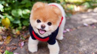 [FOTOS] Muere Boo, el perro con más de 16 millones de seguidores en Facebook