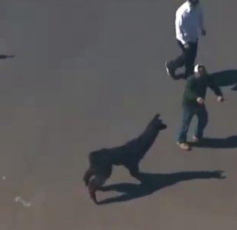 [VIDEO] La impresionante persecución de dos llamas en Arizona