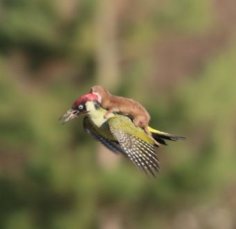 La comadreja que voló sobre un pájaro carpintero