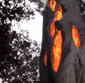 El fenómeno de los árboles que se queman por dentro