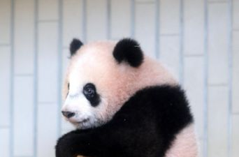 [FOTOS] Zoológico de Japón estrena a bebé panda
