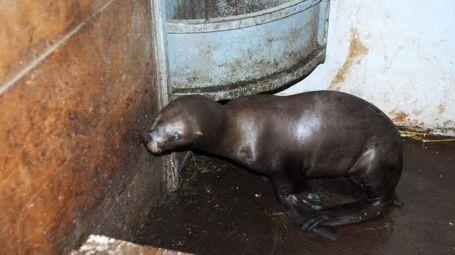La historia del lobo marino que sobrevivió a 47 perdigones en su rostro