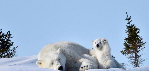 [FOTOS] El oso polar que saludó a la cámara y desató el nuevo desafío de internet