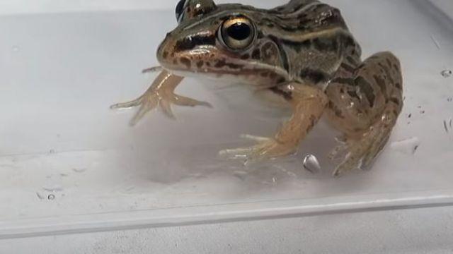 El escarabajo que escapa de la rana luego de ser tragado | Tele 13