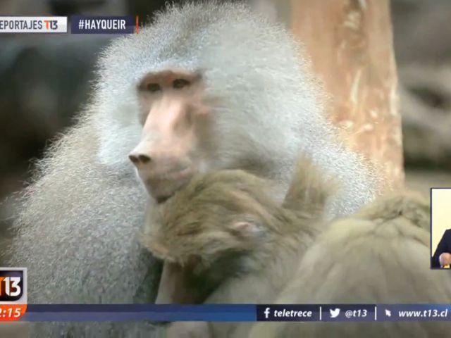 [VIDEO] #HayQueIr: Buin Zoo, un panorama imperdible para el fin de semana