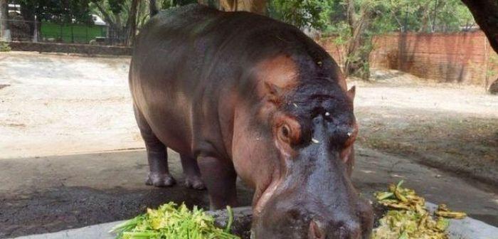 Gustavito llevaba 12 años en el zoológico nacional de El Salvador.