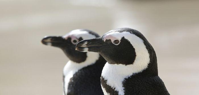 Pingüinos como reclamo para atraer visitantes
